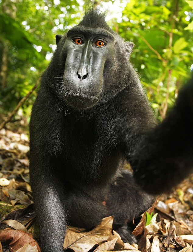 Monkey Selfie - David Slater